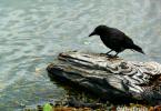 crow on a log