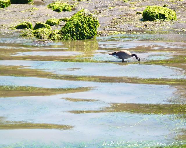 Canadian Goose in Bellingham