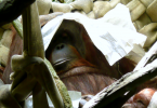 sleeping orangutan - CoffeeJitters.Net