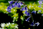 bluebells - CoffeeJitters.Net