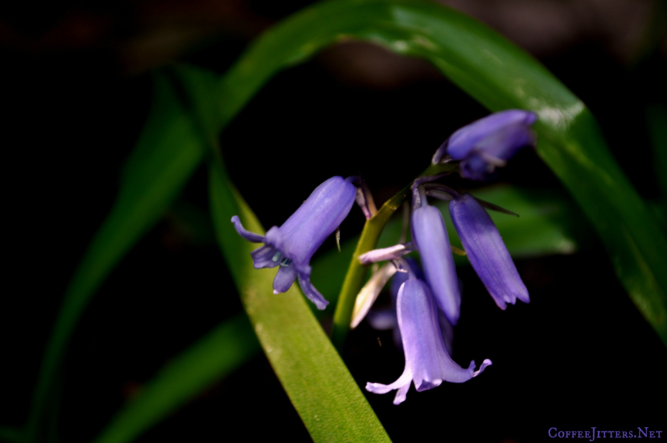 bluebells 2