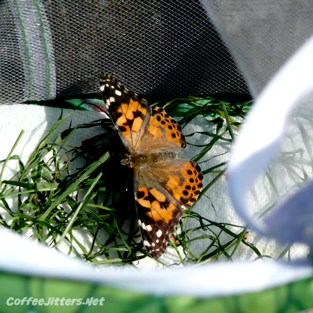 butterfly-in-net